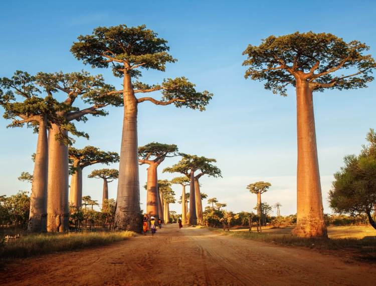 Baobab-Source-of-Senegal-Life